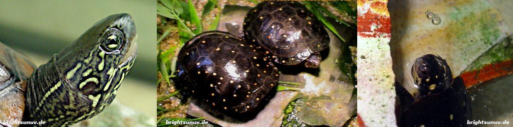 Wasserschildkröten sonnen sich unter der Bright Sun UV Turtle
